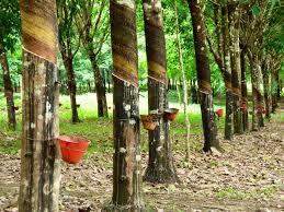 Firestone Rubber Trees